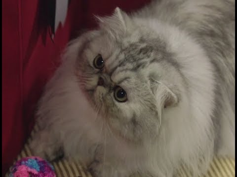 Persian - Cat Breed Spotlight by Petco
