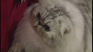 Persian - Cat Breed Spotlight by Petco