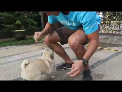 Pug welcomes Daddy Home