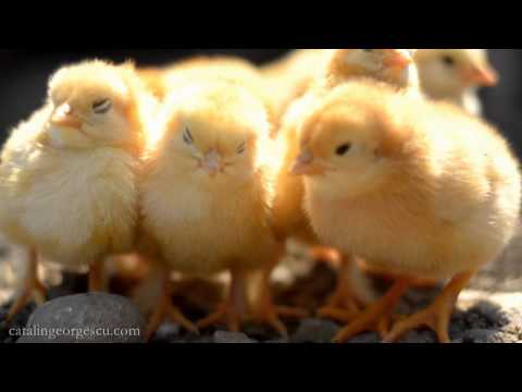ridiculously cute baby chicks