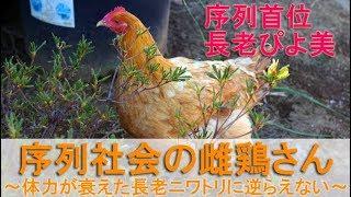 """2017年3月中旬のこと。 庭でボス役を務める雄鶏は""""ぴよ助""""です。 雌鶏さ..."""