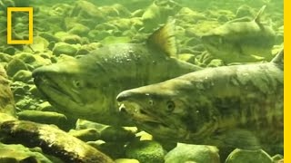 Why Are These Scientists Collecting Salmon Sperm? | National Geographic