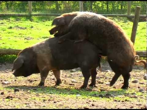 Frau Fickt Schwein