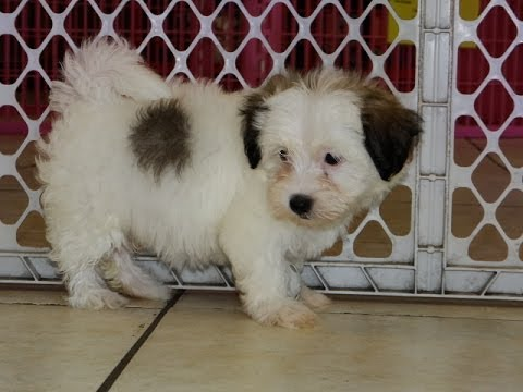 Havanese Puppies Dogs For Sale In Denver Colorado Co