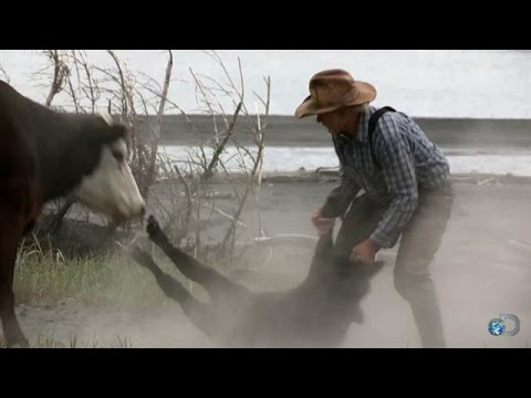 Mad Momma Cow | Alaska: The Last Frontier