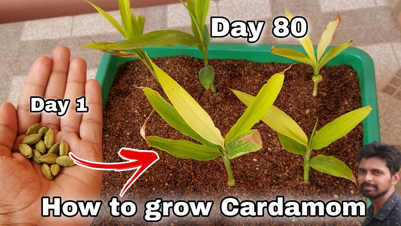 Download How to grow Cardamom from seeds in 2021, How to grow elaichi at home, how to grow Cardamom
