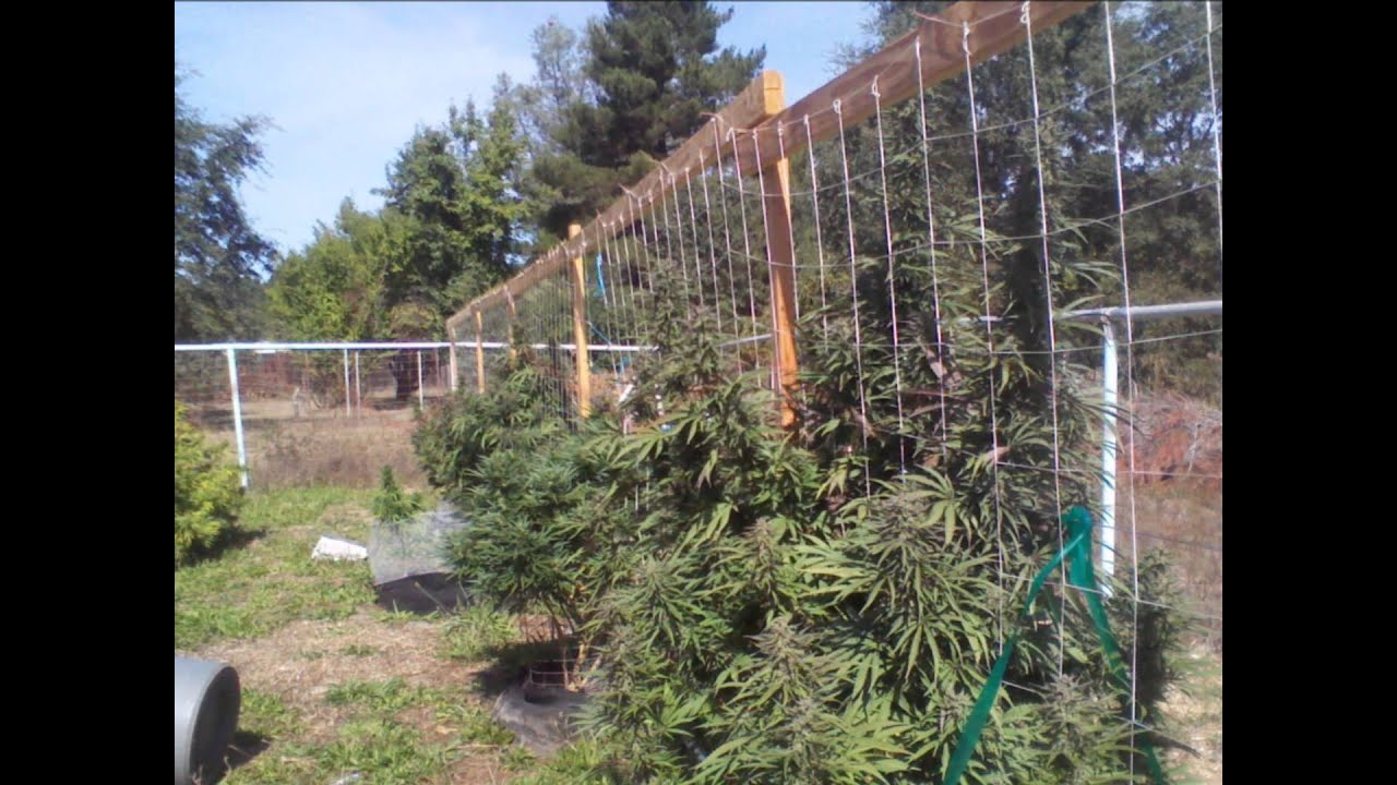 Vertical Trellis Cannabis Garden Wmv Youtube