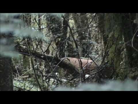 Deer Hunting NZ| Kaimais| Roar Hunt