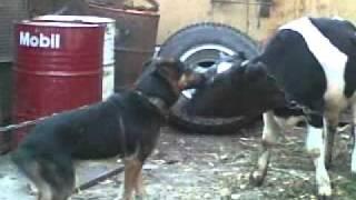 приколы собака и корова