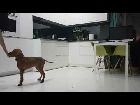 Puppy vizsla training only one month, basic dog commands