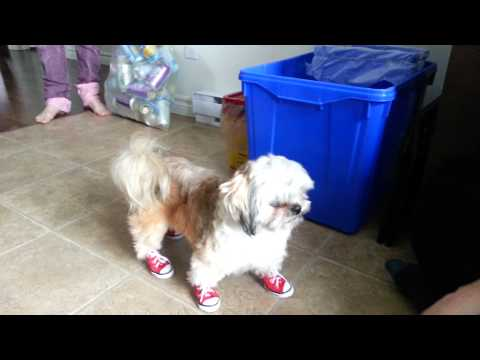 cute-dog-wearing-converse-running-shoes