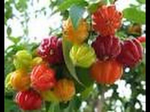 Cultivo de rboles frutales ex ticos del tr pico tvagro for Imagenes de jardines exoticos