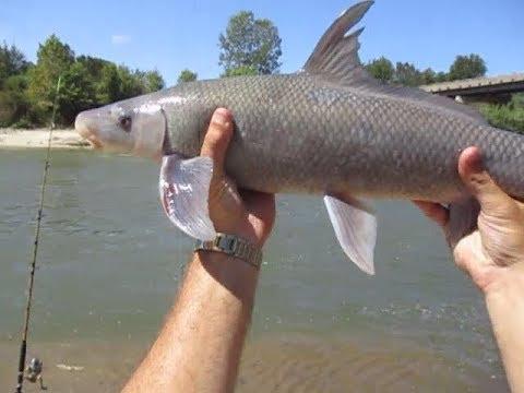 Ep.259-  My Very First Blue Sucker Fish(Cycleptus Elongatus)