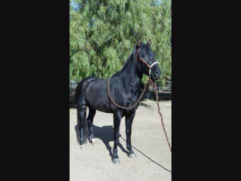 Aventuro Andy Stallion Andalusian Add