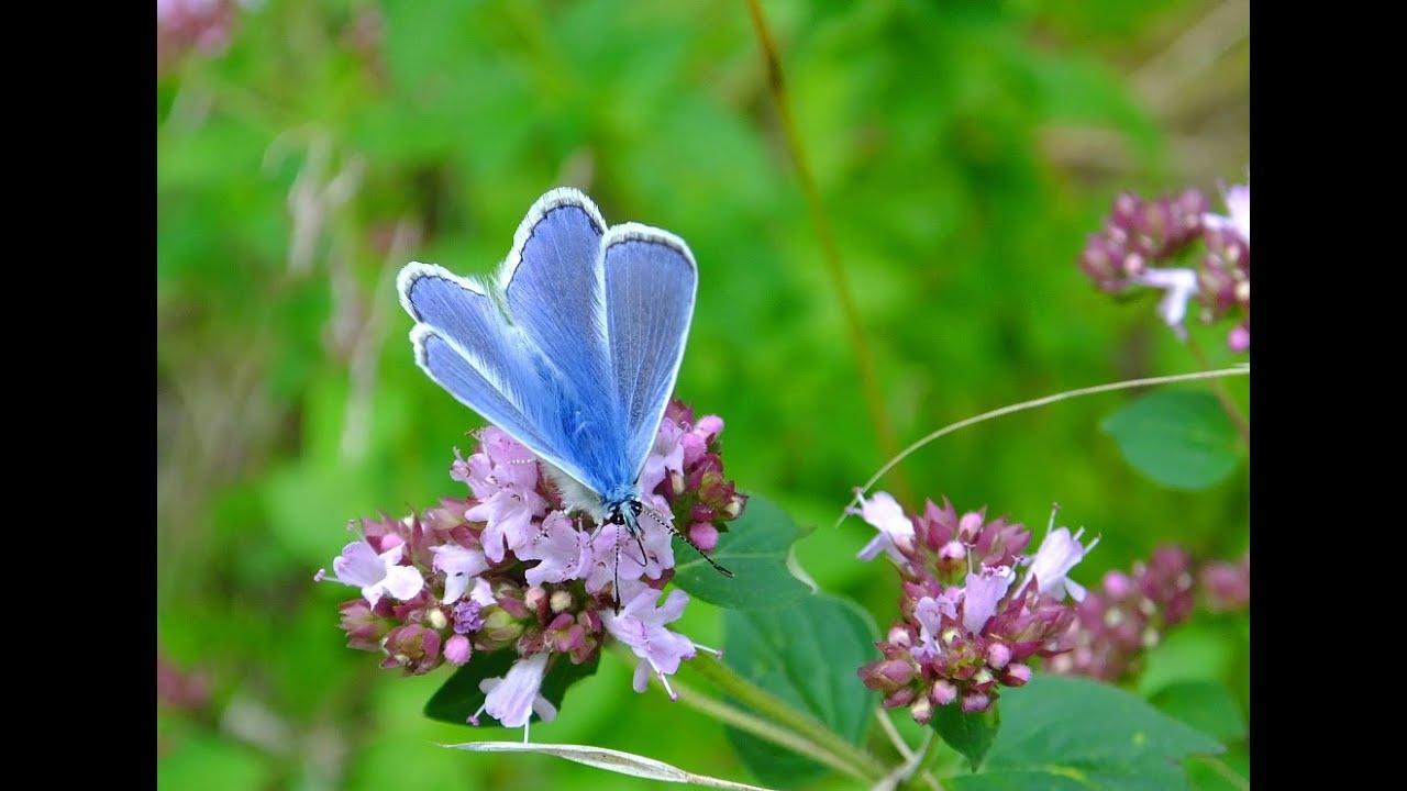 l 39 origan ou marjolaine une plante tr s utile aux insectes pollinisateurs et la biodiversit. Black Bedroom Furniture Sets. Home Design Ideas