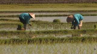 Farmers Plant Rice Paddy Planting Field Bali Indonesia Men Working Agriculture . Stock Footage