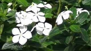 Catharanthus roseus (Apocynaceae) Madagascar Periwinkle - Vinca Brasil