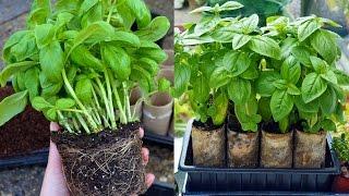 Split Supermarket Basil into Individual Plants