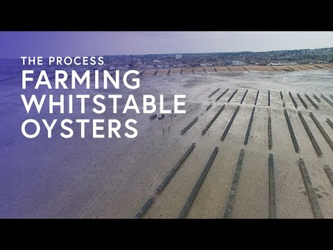 Farming Whitstable Oysters - The Process