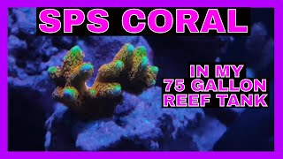 SPS Coral - 75 Gallon Reef Tank - Coral Update