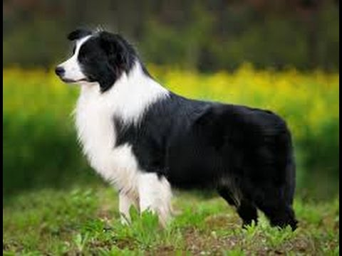 Border Collie: Informations about the Breed