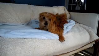Norfolk Terrier Pie Towels Off