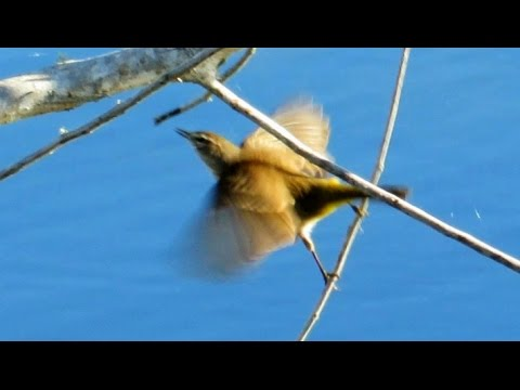 Warblers Stealing Insects From Spider