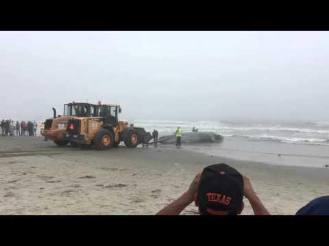 Beached Whale - Galveston, Tx