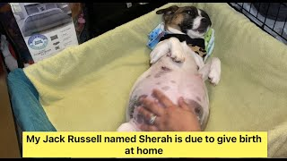 JACK RUSSELL GIVING BIRTH TO POMERANIAN JACK RUSSELL MIX PUPPIES | How To Help Dog Deliver Puppies