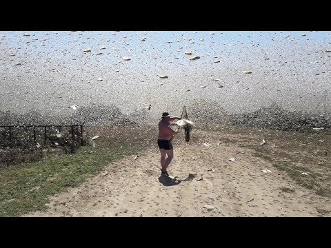 Swarms of locusts cover the sky in Russia
