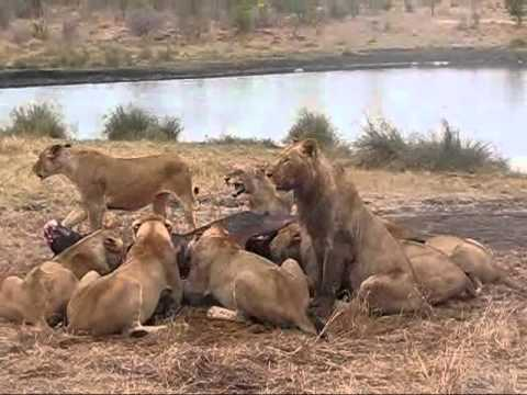 Lioness protects Cubs at Sabi Sands