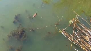 ОНДАТРА в дикой природе (водяная крыса видео 2018)