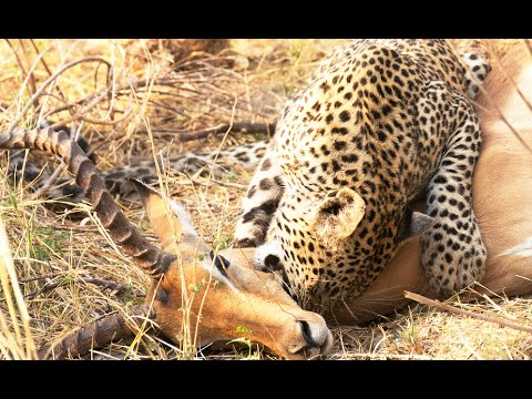 Leopard Steals Impala Kill From 2 Hyenas - Latest Wildlife Sightings