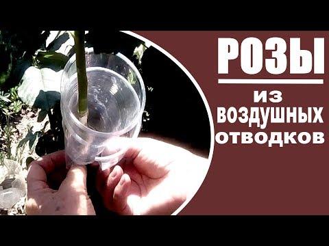 Размножение роз воздушными отводками  Как это сделать