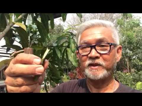 สอนวิธีการเสียบยอดมะม่วงแบบง่ายๆ ให้มีหลายสายพันธุ์ในต้นเดียวกัน ไม่ต้องปลูกหลายต้น