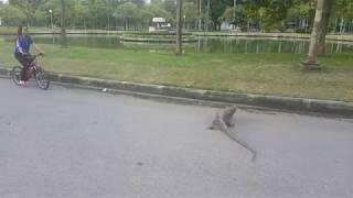 Bike riding with Bangkok lizards in Lumpini Park Thailand