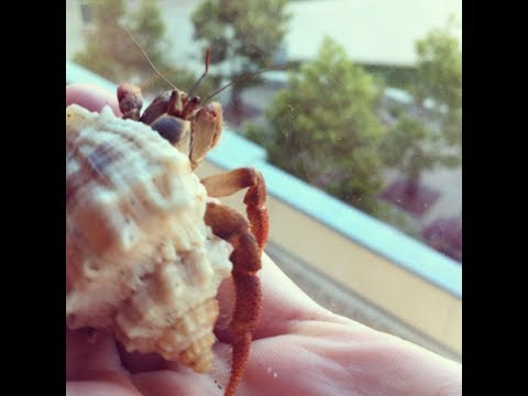 Hermit Crabs- Care and Keeping! All you need to know!