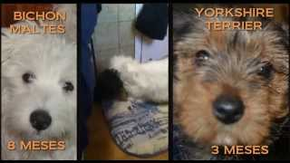 Fight Dogs | Bichon Maltes Vs Yorkshire Terrier | Maralb