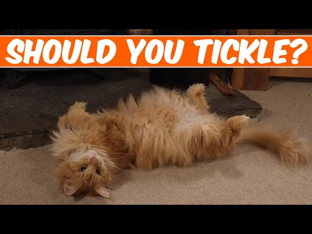 Maine Coon rolling onto his back