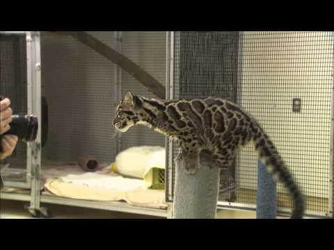 Cute Clouded Leopard Cubs Pounce and Play