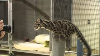 Cute Clouded Leopard Cubs Pounce and Play thumbnail