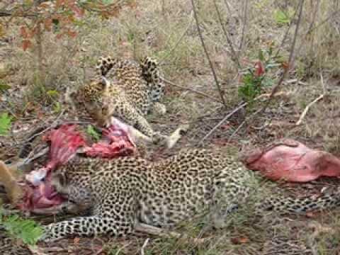 Leopards Feast Sabi Sands South Afica - YouTube