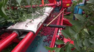 MAJA AUTOMATIC zbiór wiśni / sour cherry harvester