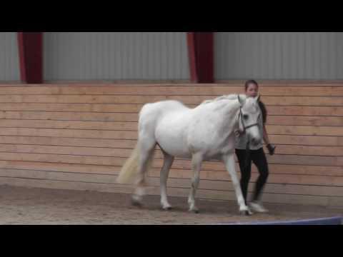 Movement of the connemara pony