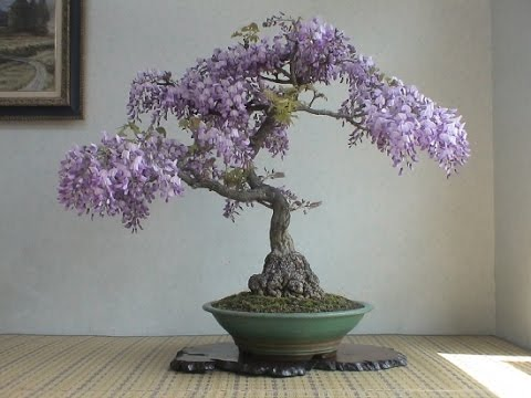 Specific Bonsai Care Guidelines For The Wisteria Youtube