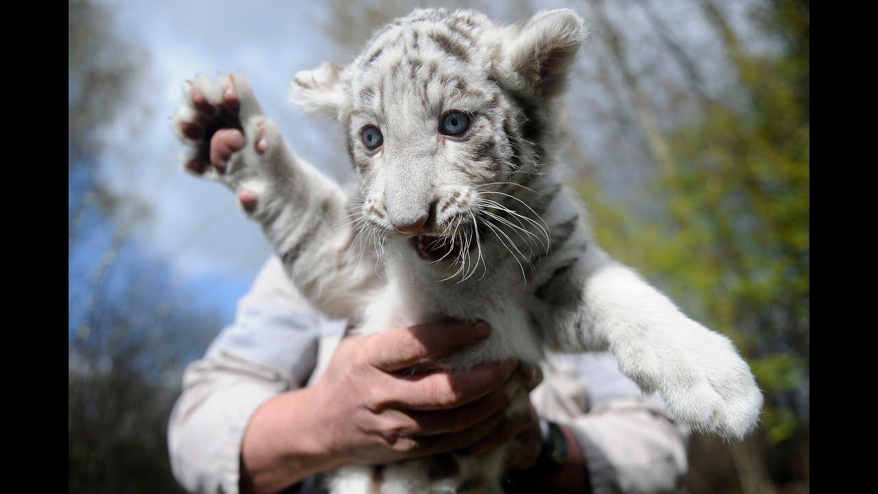 Tiger Bengal Baby Royal