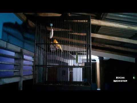 Download Lagu Wow! Burung kenari gacor durasi panjang lagu enak di dengar