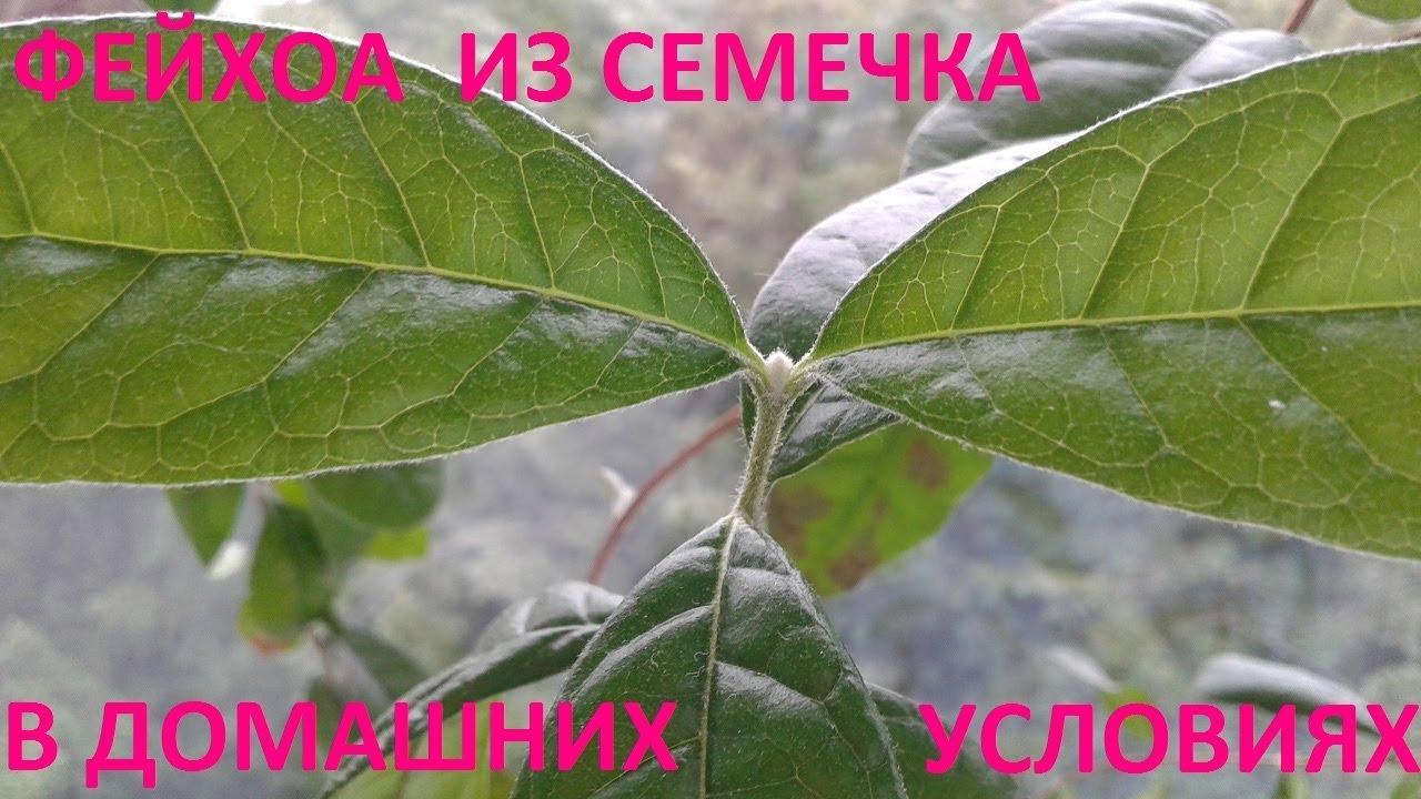 фейхоа фото растения