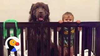 Giant Dogs Babysit Baby Brothers | The Dodo