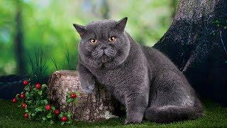 Британский КОТ Аристократ на Выставке Кошек - Окрас ГОЛУБОЙ | Породы КОШЕК